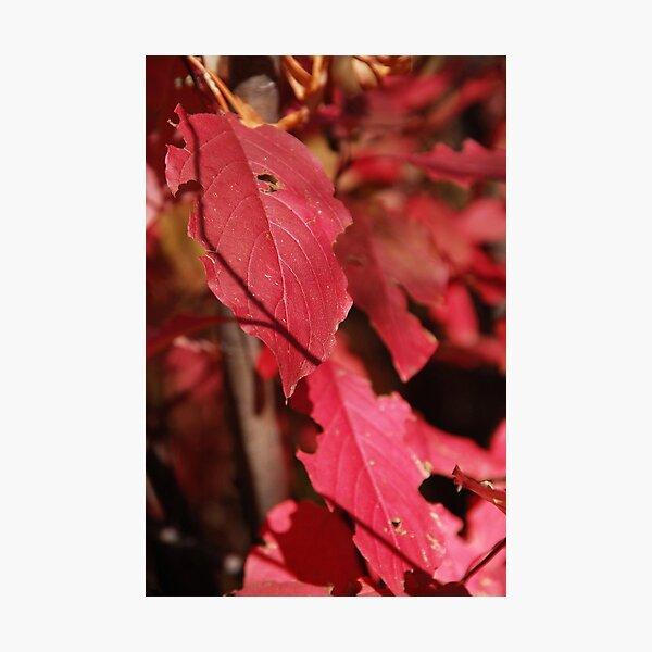 Red-Stem Dogwood Photographic Print