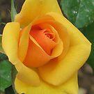 Haputale Rose IV by paulinea