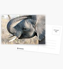 Young Elephant Postcards