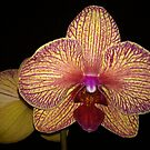 Orchid by ZIGSPHOTOGRAPHY