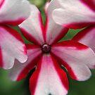 Pink Stripes by Katie Schutte