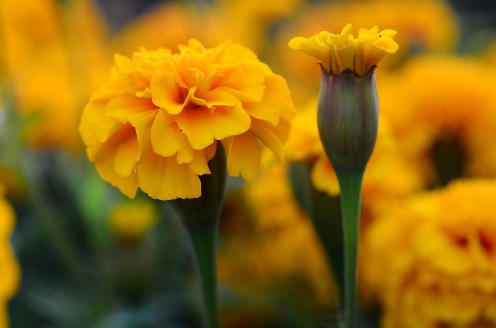 marigolds 4 by Ranbir Singh