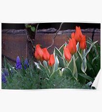 Three Bulbs - Eleven Tulips Poster