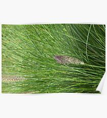 Grass Seed Head Poster