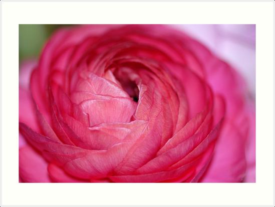 Buttercup - Ranunculus II by vbk70