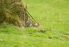 Rabbit kittens by Andy Beattie