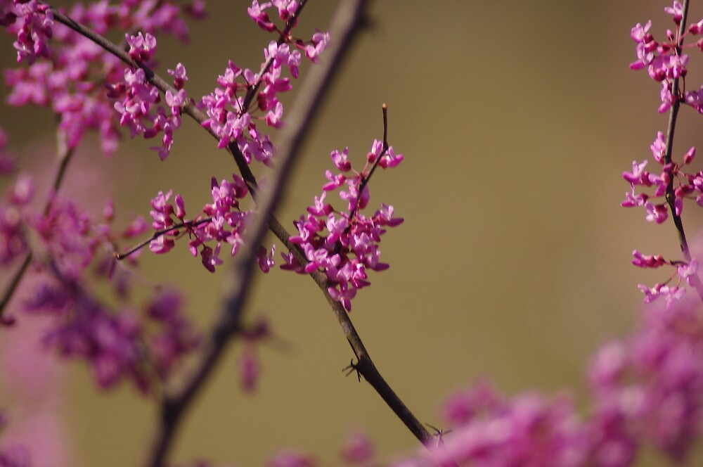 Pink Blossom by rljphotography