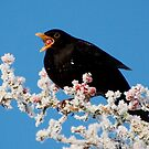 Blackbird and chilly berries! by CarlBovis