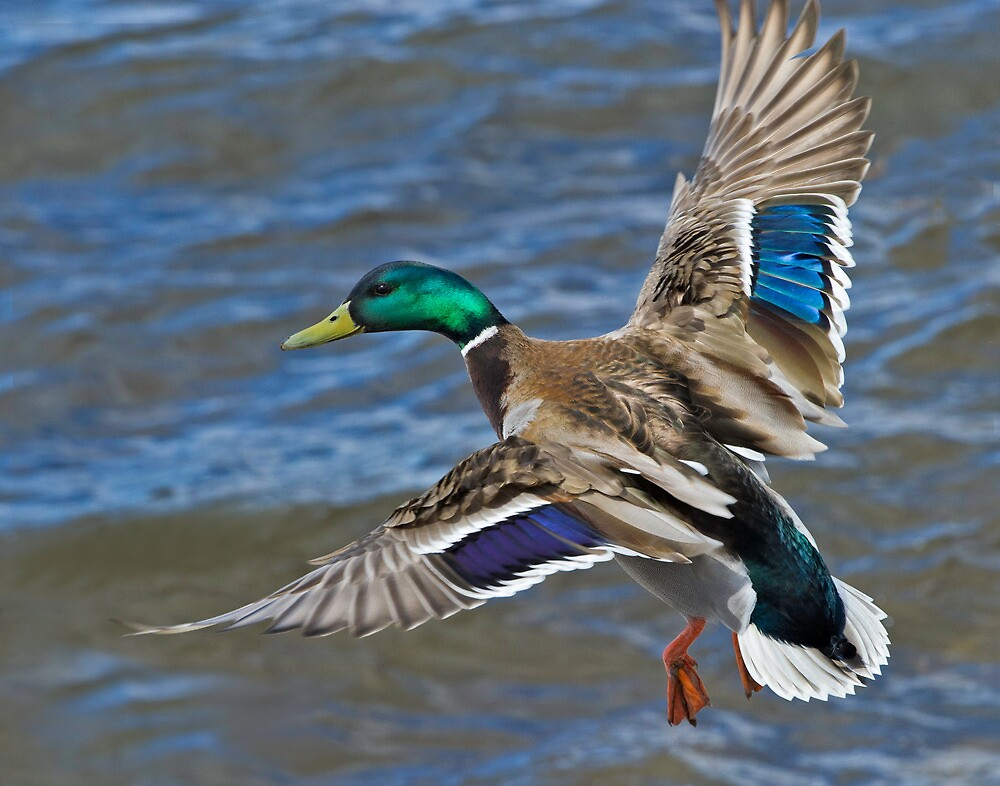 Mallard Drake in Flight by Charles  Murray