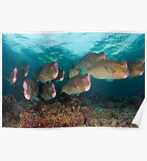 Early morning with the Humphead Parrotfish Poster