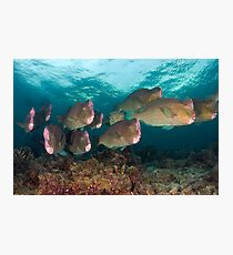 Early morning with the Humphead Parrotfish Photographic Print