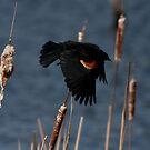 Red-Winged Blackbird - In Flight #3 by Benjamin Brauer