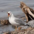Ring-Billed Gull - My Apple! by Benjamin Brauer