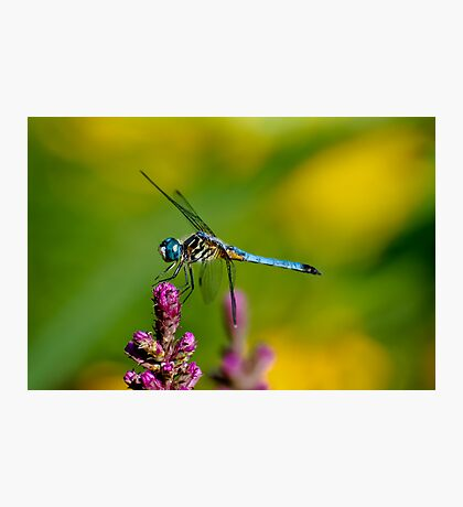 Blue Dasher Photographic Print