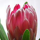 Protea on white by Catherine Davis