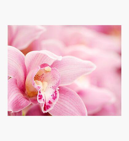 Pink Cymbidium Orchid Photographic Print