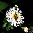 Bug on Flower by BonnieToll