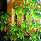 Japanese maple at the window by Dulcina