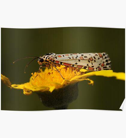 Heliotrope Moth  Poster