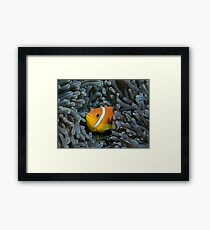 The anemonfish of the Maldives Framed Print