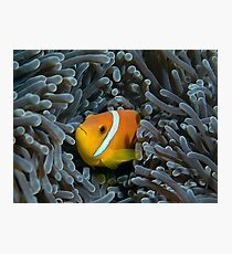 The anemonfish of the Maldives Photographic Print