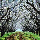 Almond trees by FOTIS MAVROUDAKIS