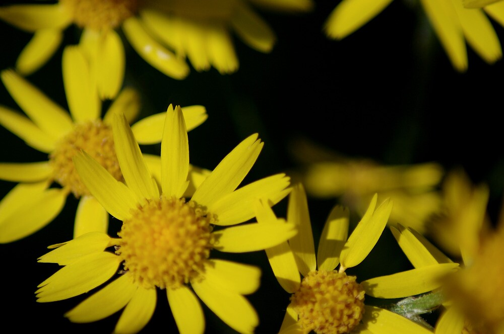 pushin up daisies by rljphotography