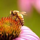 honeysuckle by rljphotography