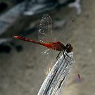 Damselfly by Reef Ecoimages
