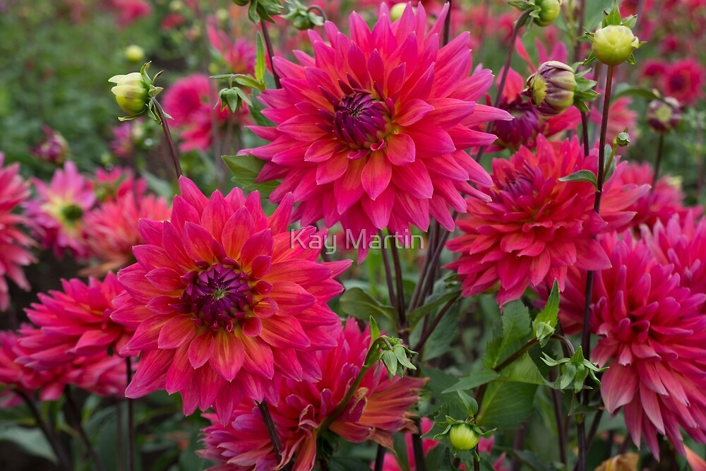 Dahlia Gardens In Canby, Oregon By Kay Martin