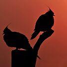 Crested Pigeons. Brisbane, Queensland, Australia.  by Ralph de Zilva
