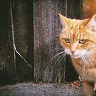 Portrait of an Orange Cat - Holga - Tasmania, Australia by kirstygirl7