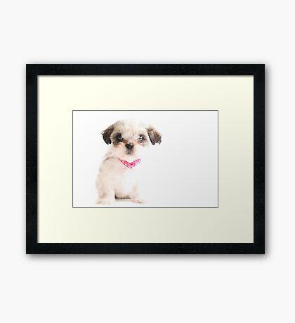 Baby Shih Tzu Framed Print
