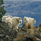Mountain Goats Up Close by Michael Garson