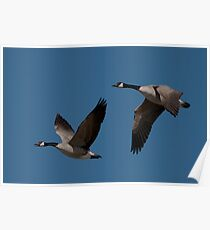 Candian Geese Pair #057 Poster
