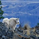 Mountain Goats Watching Us by Michael Garson