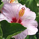 Pink Hibiscus by triciaoshea