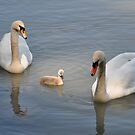 Swan family... And a peaceful story by Daidalos