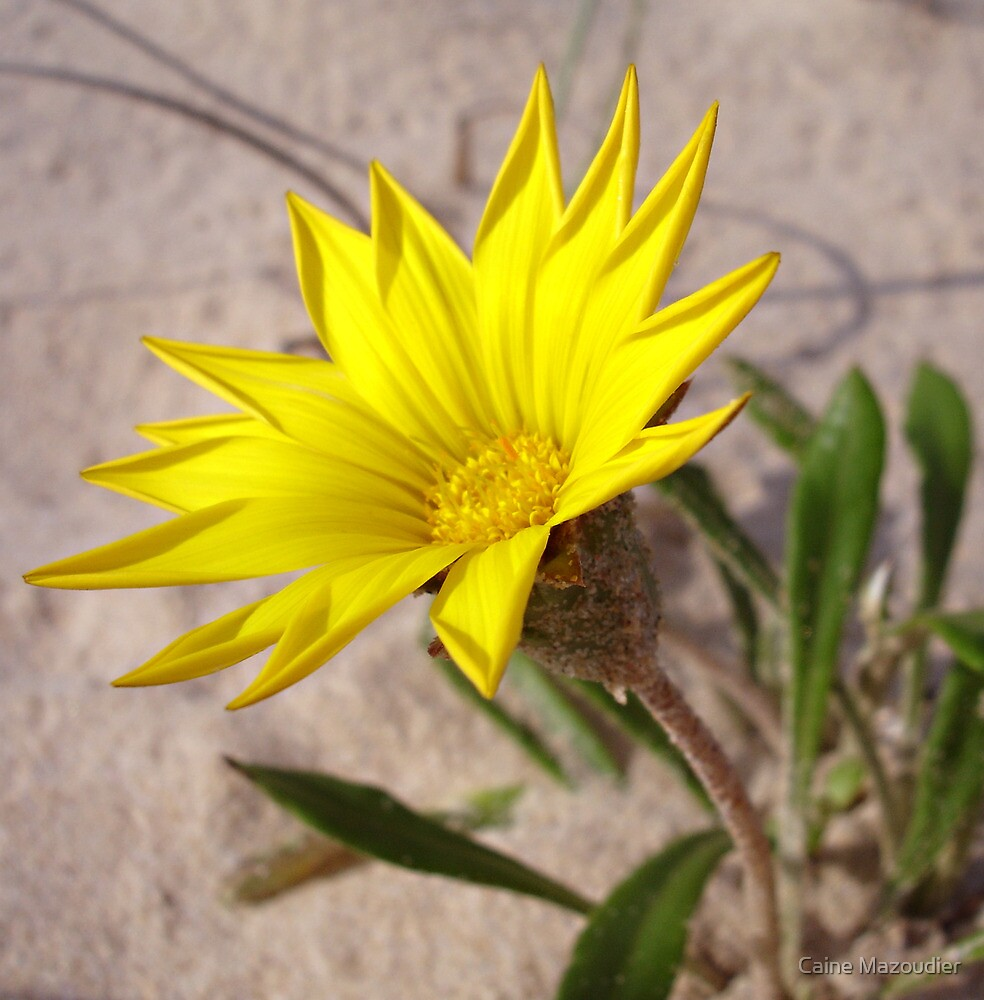 Beach Bloom by Caine Mazoudier