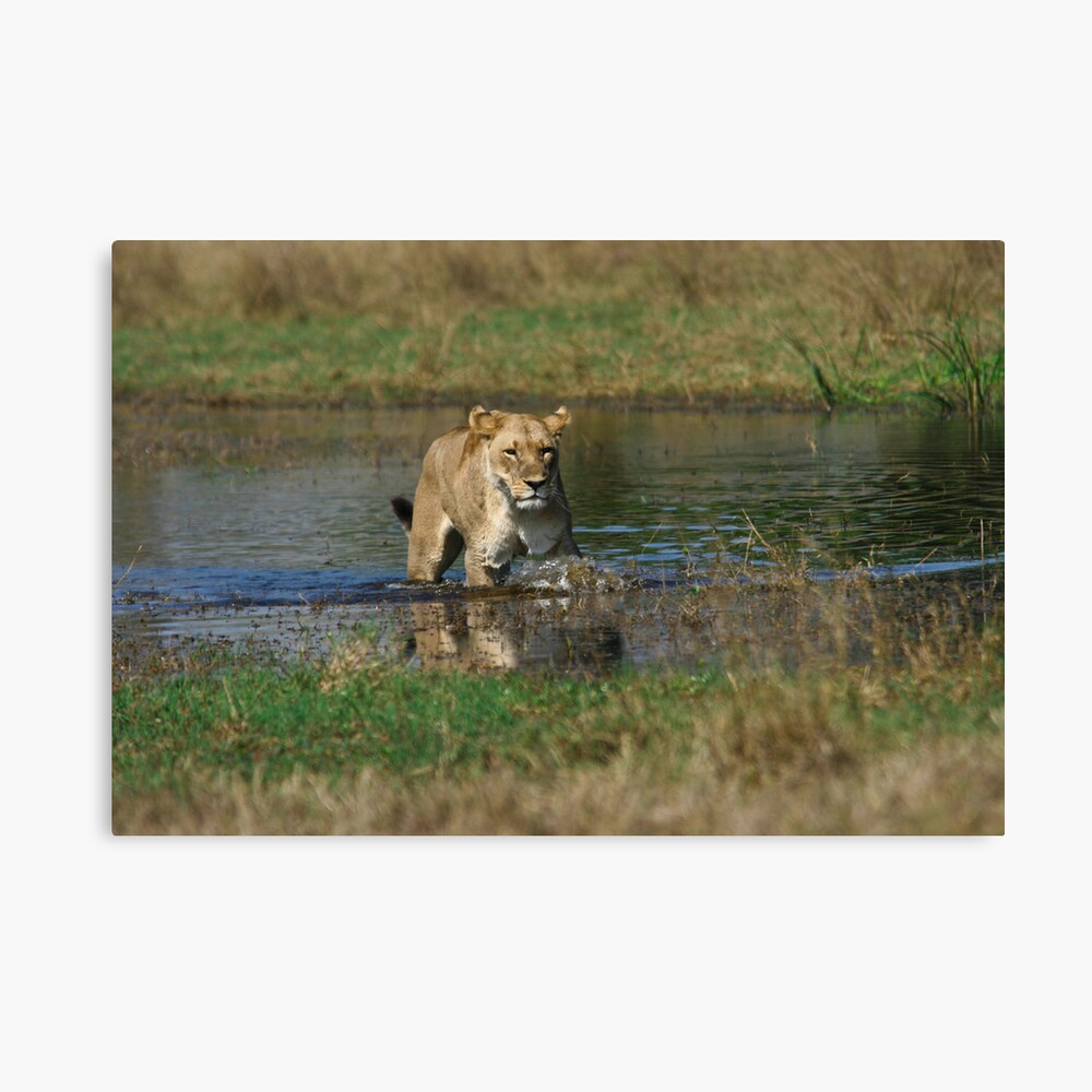 Lioness on the prowl Canvas Print