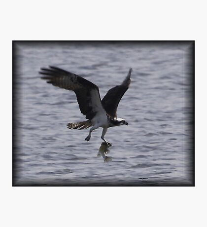 Osprey with lunch Photographic Print