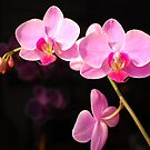 Orchid on Black by Bulalio