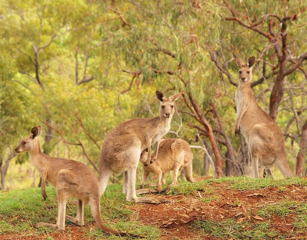 Eastern Grey Kangaroos by Richard Duffy