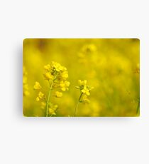 canola flowers   Canvas Print