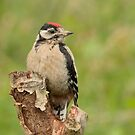Juvenile Great Spotted Woodpecker by Peter Wiggerman