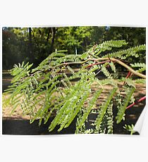 Selective focus on the young acacia branch with leaves and large spikes Poster