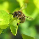 Honey Bee on the Euphorbia by Pamela Jayne Smith
