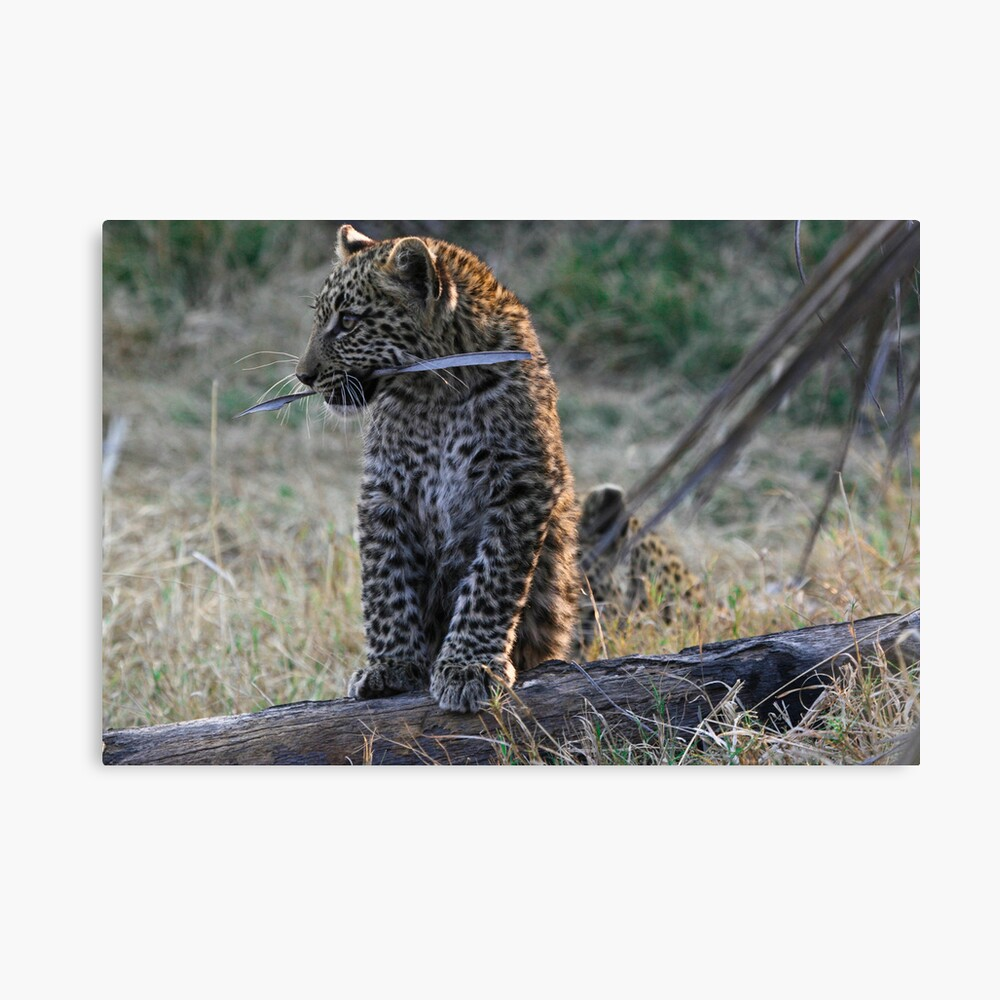 Leopard Cub playing with a piece of bark Canvas Print