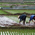 Working for the daily food - rice farming in Vietnam by Marlies Odehnal