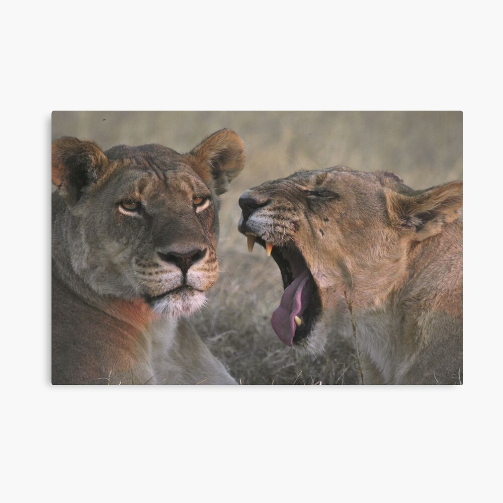 """""""Can you hear me"""" ? - Lioness yawning Canvas Print"""